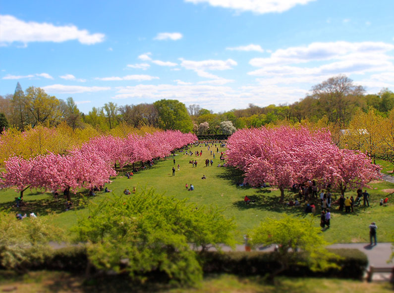 cerejeiras-cherry-blossom-nova-york