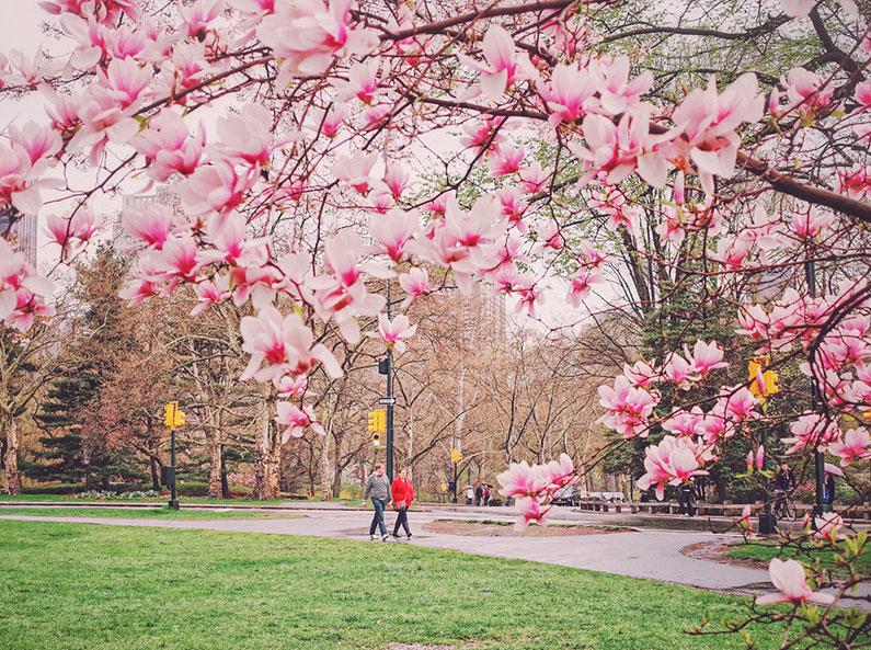 cerejeiras-no-central-park-em-nova-york