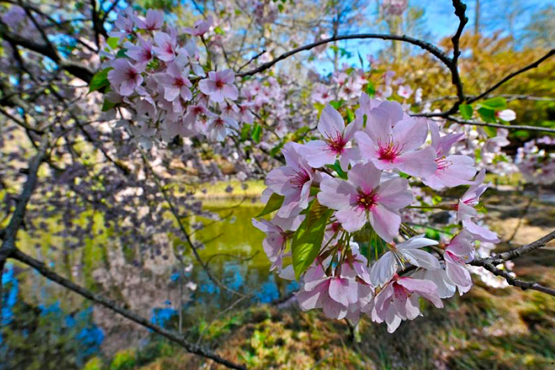 cerejeiras-nova-york-brooklyn-botanic-garden