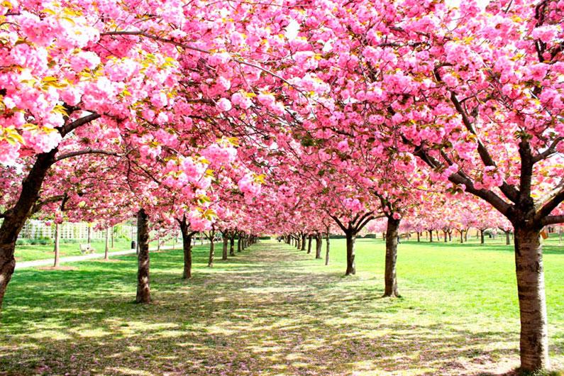 cerejeiras-nova-york