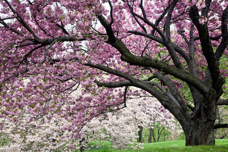 dica-nova-york-cerejeiras-onde-ver